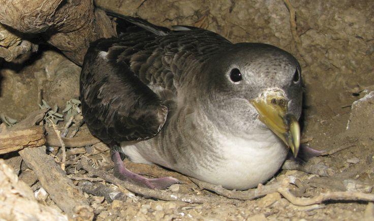 Levantamiento cartográfico de nidos de Pardela y App Pardelator