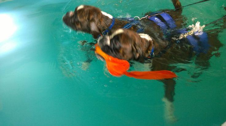 Synkronsvømning Chrysantemum & Berberis Boxere
