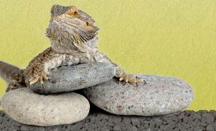 Bearded Dragon Nutrition Data » The Bearded Dragon What to eat and not eat and how much...