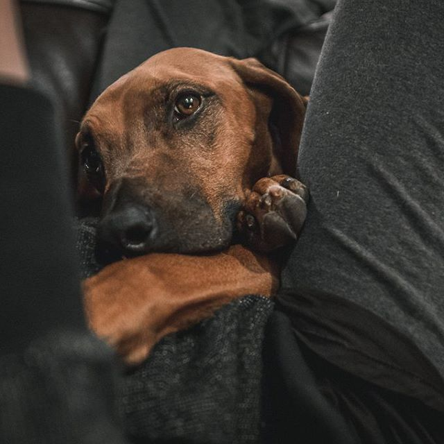 *David Attenborough nature documentary voice* The Rhodesian Ridgeback, much like the boa constrictor, slowly squeezes the air from its victim. They start in their prey's lap and slowly climb up the person's chest, suffocating them with bodyweight (and love). The adoring human is powerless to resist.  ______________________ #rhodesianridgeback #projectrr #ridgebacksofinstagram #dog #dogs #hound #dogsofinstagram #dogoftheday #excellent_dogs #petstagram #primepet #chicago #dogbeach…