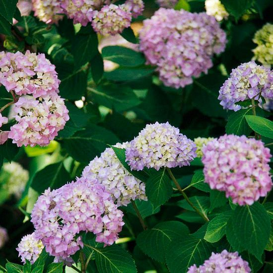 How To Care For And Choose Hydrangeas Flower Flowering