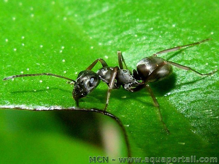 Lasius niger : Fourmi noire des jardins, une classique de nos jardins facile en formicarium.
