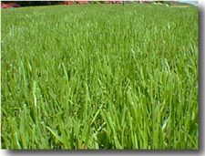 Overseed with annual rye grass in the winter to keep a green yard and help fertilize our regular grasses. Just spread the seed, water, and let it alone.