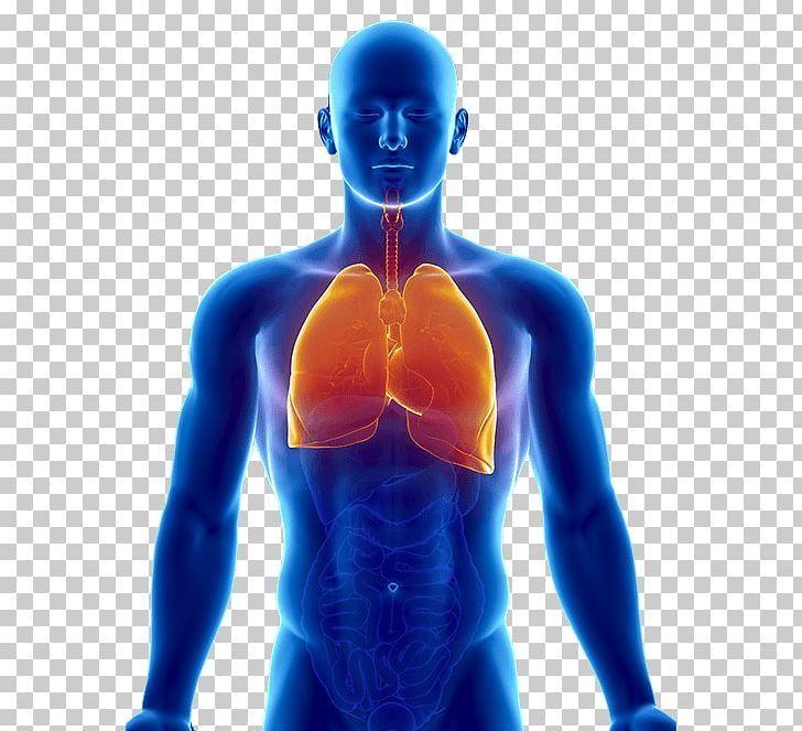 Lung Human Body Organ Respiratory System Heart Png Abdomen Arm Bronchus Cell Chest Human Body Organs Body Organs Human Body