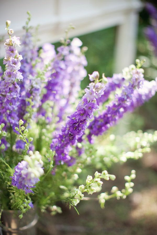 Best images about july larkspur on pinterest