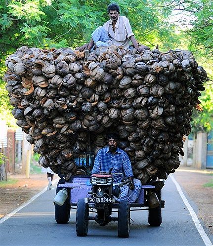 Sri Lankan Tamil farmers transport coconut husk in Jaffna, 250 miles north of the capital Colombo on Nov. 18, 2013.