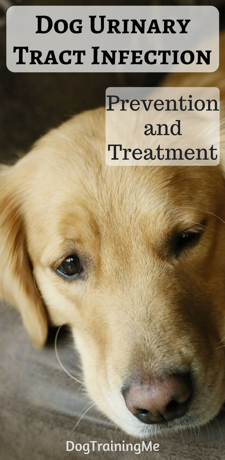 dog urinary tract infection treatment