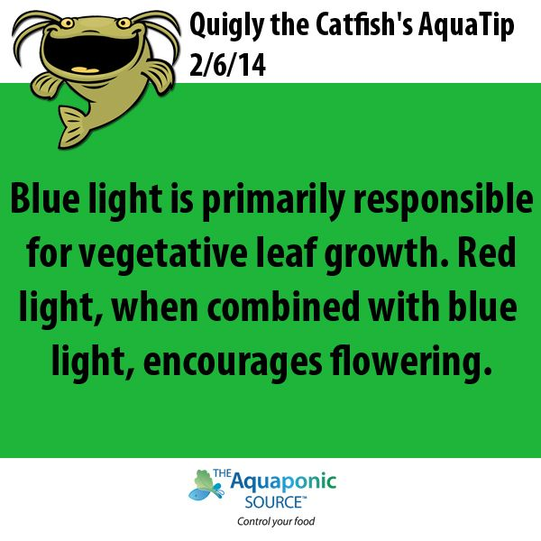 Blue light is primarily responsible for vegetative leaf growth. Red light, when combined with blue light, encourages flowering. aquaponics gardening lighting