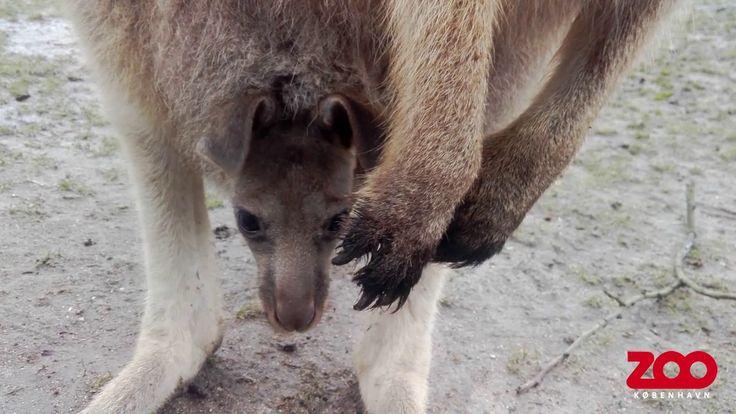 Kangaroo with her baby at Copenhagen Zoo https://www.youtube.com/watch?v=-RgPUFxkXb4