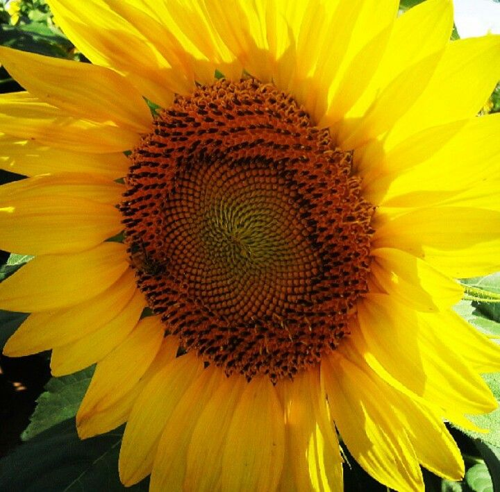 HUGE sunflower standing proud...well it should be...its beautiful...can you see the bee? :)