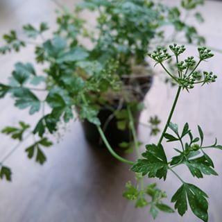 Perejil. | 16 Plantas para sembrar y cocinar en casa