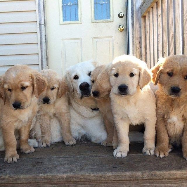 Golden mom and her pups | Unconditional Love & Total Cuteness | Pinterest | Pup, Dog and Animal
