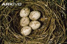 Garden warbler eggs in nest