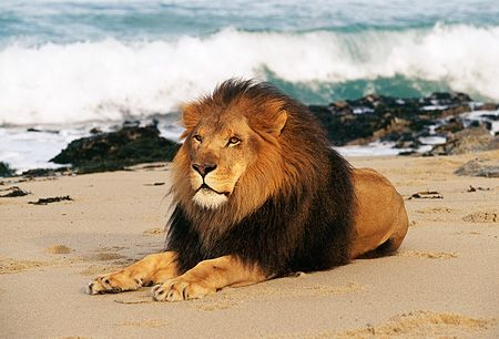 Lions On The Beach Poem by Barry Middleton - Poem Hunter