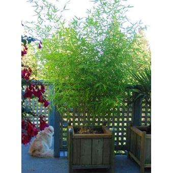 Phyllostachys Aurea - Golden Bamboo