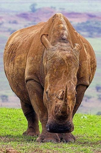 Save the rhino ..