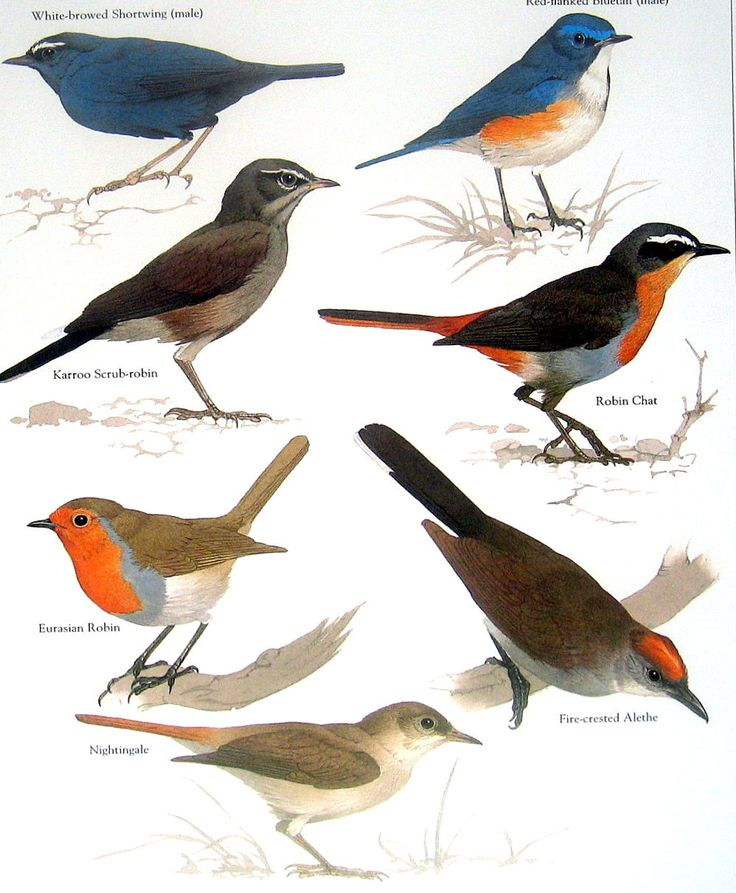 Bird Print - Eurasian Robin, Fire Crested Alethe, Nightingale, Robin Chat - 1984 Vintage Birds Book Page. $10.00, via Etsy.