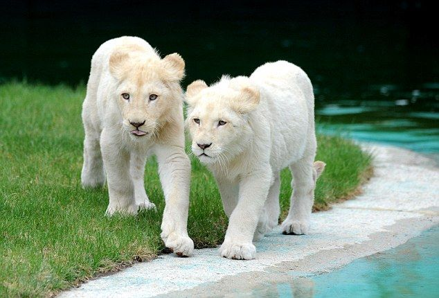 Young white lions at Schloss Holte-Stukenbrock safari park which is Europes largest breeder of white big cats
