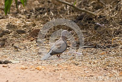 Laughing Palm Dove (Spilopelia senegalensis) , in the National Park in the Gambia . Africa