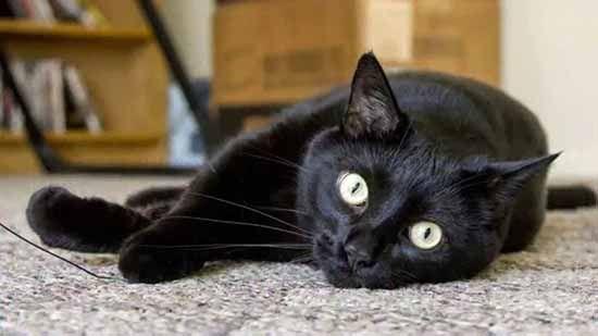 Бомбейская кошка или бомбей — порода короткошерстных кошек с чисто черным окрасом, внешне очень напоминающих миниатюрных пантер. Происхождение породы ...