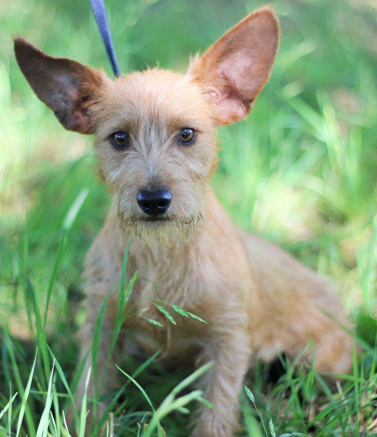 Clancy Dogs, Australian cattle dog blue heeler, Terrier dogs