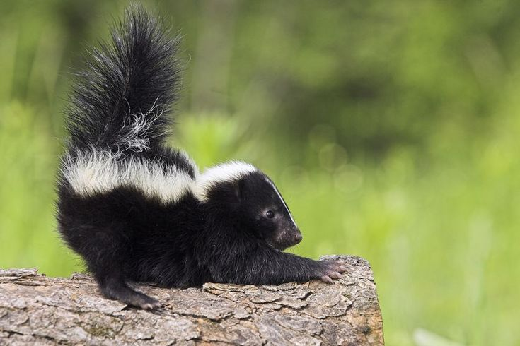They all stink, but there's much more to the skunk world than just the black-and-white stripes of Pepé Le Pew.