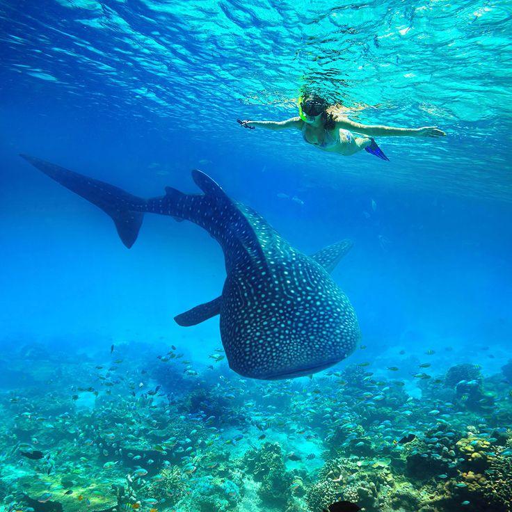 Un requin baleine via Shutterstock La plupart des squales fréquentent des « stations de nettoyage »