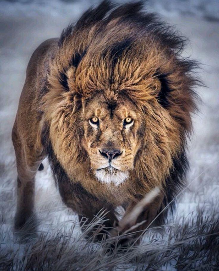 Pin Von Riryeya Auf Leon Tiere Majestatische Tiere Coole Tiere