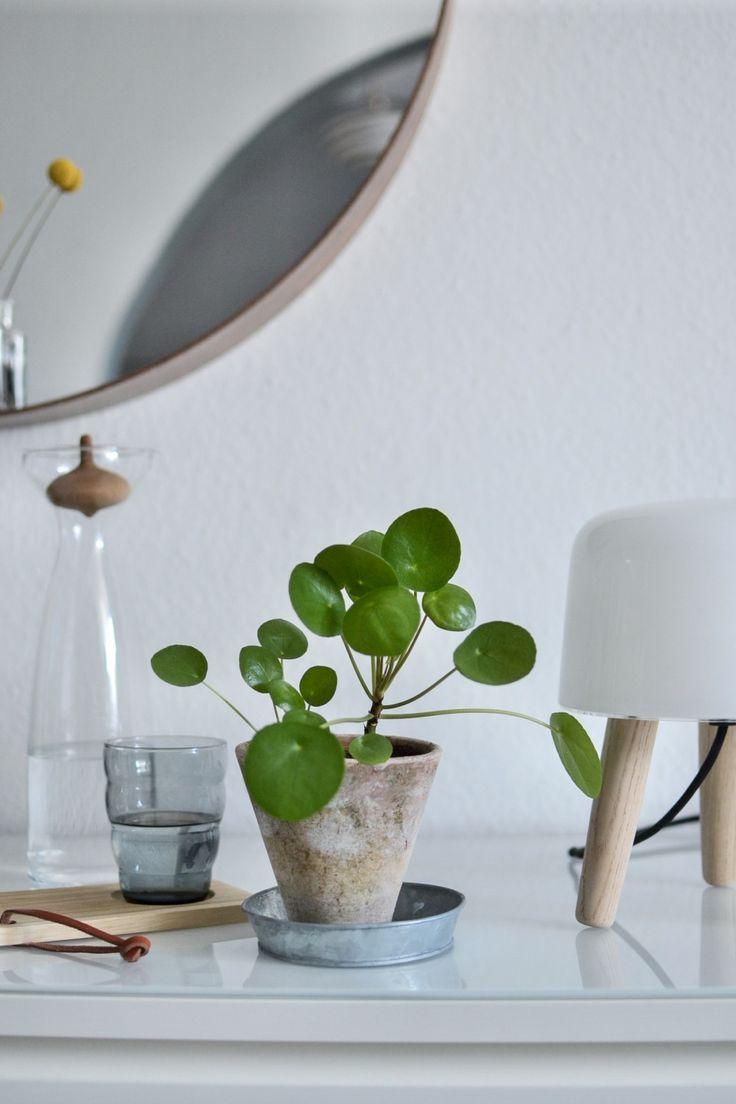 Sattes Grün, dünne Blattstiele und Blätter, die wie kleine Flugobjekte aus einer anderen Dimension im Raum zu schweben scheinen – die Pilea peperomioides ist ein echter Sonderling unter den Zimmerpflanzen.