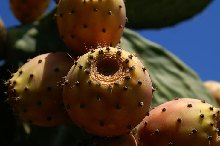 Photograph Fruit of a cactus by Áron László Szűcs on 500px