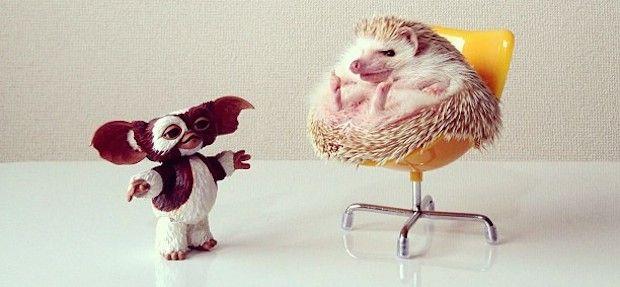 Ouriço terrestre da raça hedgehog - darcytheflyinghedgehog