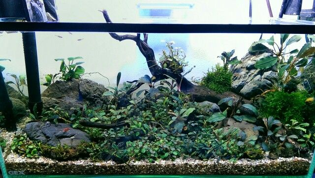 Bucephalandra Tank Plants Pinterest Aquariums Aquascaping And Fish Tanks
