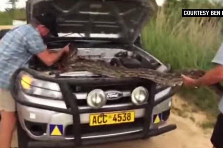 Забавный случай произошел с автовладельцем в Зимбабве, который во время поездки на своем пикапе Ford обнаружил под капотом живого многометрового питона.