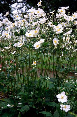 RHS Plant Selector Anemone × hybrida 'Honorine Jobert'   Herb P, Pure white flowers, H1.5m W1m Hardiness H4