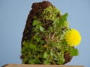 小品 ミニ 盆栽 いさんぼ 岩 苔 玉 山 野草 育成 全 種類 盆栽 まとめ 目次