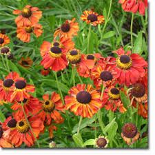 Image result for helenium kupferzwerg