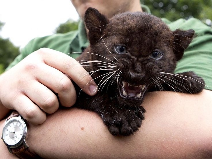 Remaong and Ferra, the new born black panther's twin in Berlin Zoo. Too cute! Click on pic for more adorable pics...
