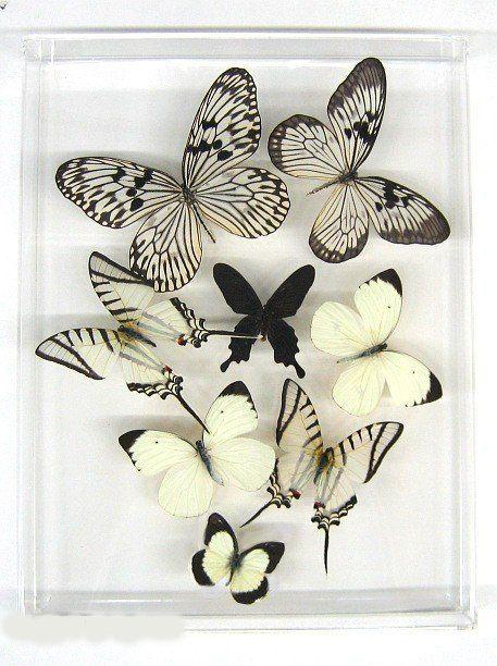 : Beautiful Butterflies, Butterflies Ideas, Black N White, Butterflies Black And White, Butterflies Curiosit, Butterflies Collection, Black White, White Butterflies, Paper Butterflies