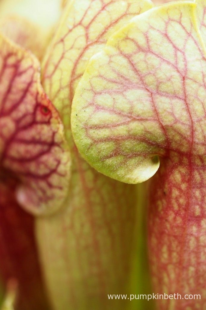 This is Sarracenia x mitchelliana x Sarracenia x swaniana.