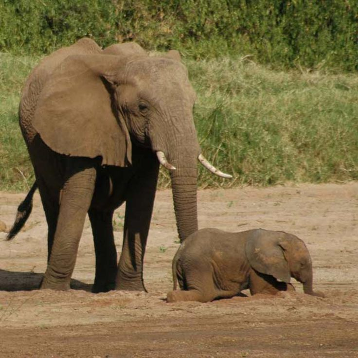 Elephants are the largest land animals. See pictures of elephants in this image gallery.