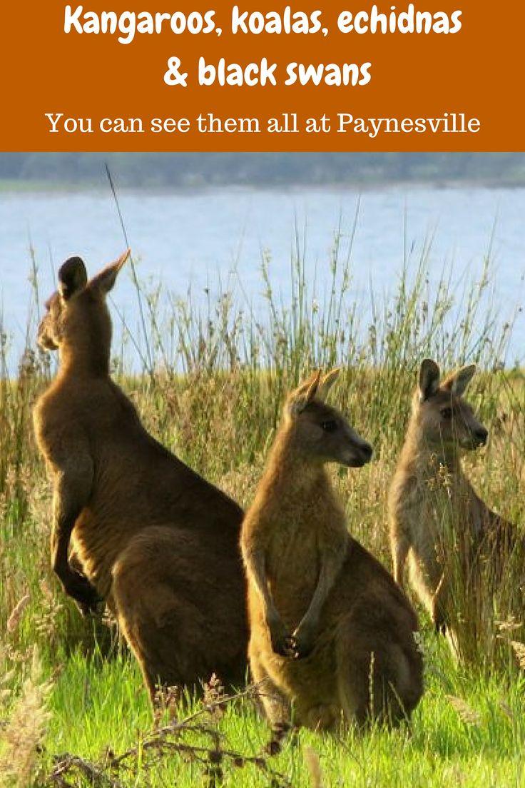 Kangaroos, koalas, echidnas and black swans - see them all at Paynesville, Victoria