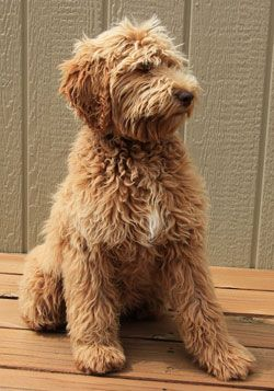 labradoodle..., I think its a need, not a want :-)