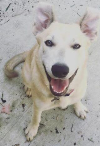 So sweet! Delta is looking for a loving home in #Crosby #Texas (near #Houston) She is just 1 yr old, spayed, vaccinated, healthy and house trained. #SiberianHusky / #YellowLab mix. #Adopt this #HuskyMix today. (888) 720-3322