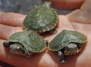 you could buy little turtles just like these from the pet store and you kept them in their little turtle island home.