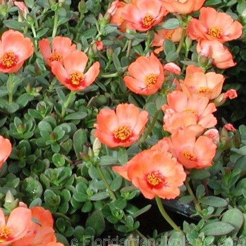 Pazazz Purslane - stays open all day and even on cloudy days making it the only one to grow for sure fire Florida garden excellence.