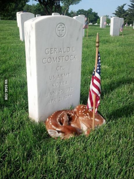 Fawn sleeping on grave site at Jefferson barracks National Cemetery.