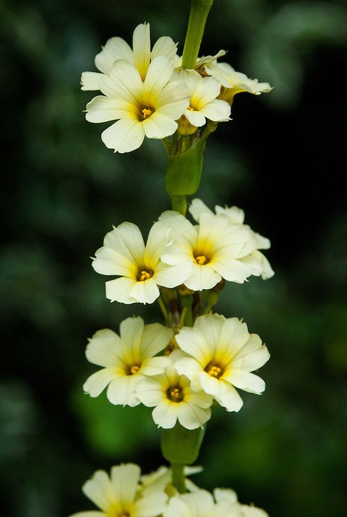 Sisyrinchium. Cut back flower stems to their base during October, earlier if self-seeding is a problem.