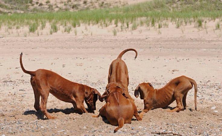 Rhodesian Ridgeback puppies at play