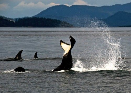5 of the Best Ways to See Orcas in San Juan Islands | Tucker House Inn | Friday Harbor, WA