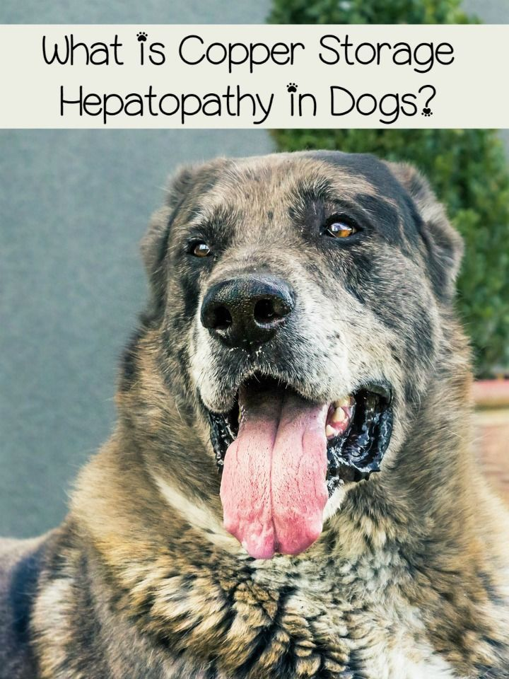 Canine Liver Disease: How A Raw Diet Can Help